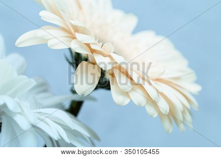 Two Gerbera Flowers White Colored Close Up Over Blue. Natural Flowery Background With Copy Space. Ab