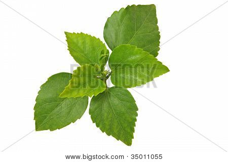 Bunch Of Green Leafs On White