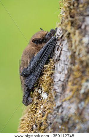 Common Pipistrell Pipistrellus Pipistrellus On Tree In Czech Republic