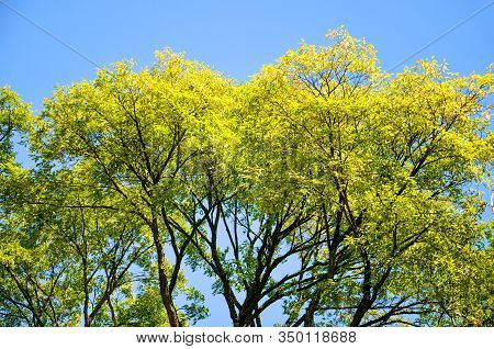 Tree Branches With Bright Spring Foliage Photographed Against The Blue Sky. Green And Yellow Leaves,