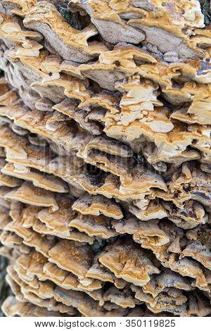 Trametes Versicolor On A Tree