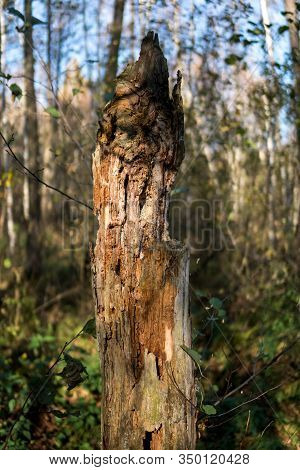 Old Rotten Tree Trunk