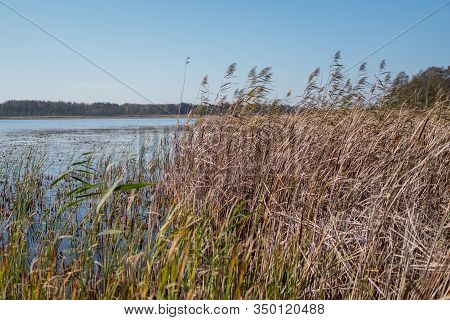 Phragmites On A Shore Of A Dystrophic Lake
