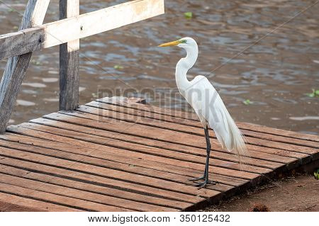 White Egret On The Floor Of A Wooden Deck Of A Lakeshore. Wild Animal On A Urban Area.