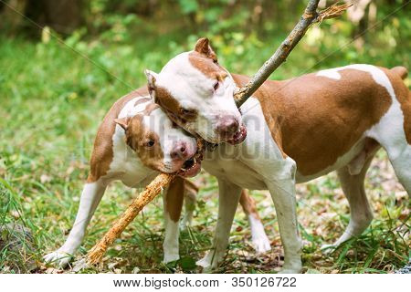 Close Up Of Two Gorgeous Dogs Holding Wood Stick In Teeth. Beautiful White And Red Pit Bulls Playing