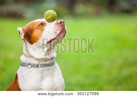 Side View Of Adorable Red And White Dog Holding Ball On Nose. Gorgeous Pit Bull With Chain On Neck T