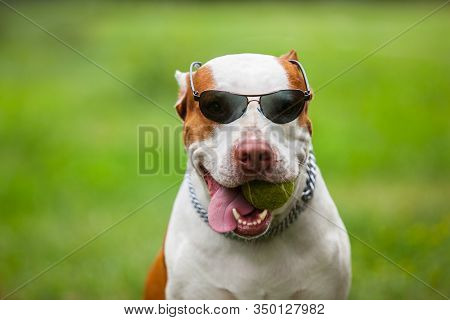 Front View Of Cute Red And White Pit Bull Holding Ball In Mouth And Sticking Out Tongue. Cool Dog In