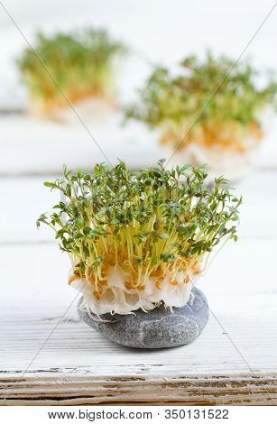 Garden Cress, Lepidum Sativum, Growing From Cotton Pad On The White Table. Also Called Mustard And C