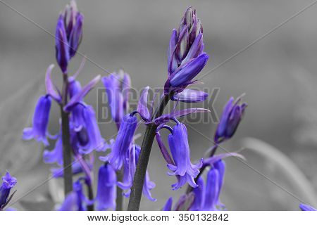 Colorsplash Of  Bluebell Flowers (hyacinthoides Non-scripta) In Bloom