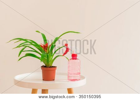 Plant Care Concept. Guzmania Plant With Red Flower In A Pot With Spray Bottle On White Table On Ligh