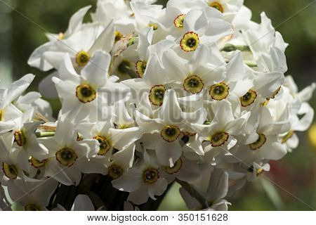 White Narcissus (narcissus Poeticus) - White Delicate Flowers In Spring. Bouquet Of Daffodils, White