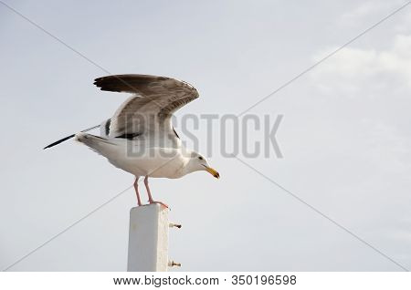 Seagull Coming In For A Landing.  Seagull Perched On Boat Railing. Waiting For Food.  White Seagull