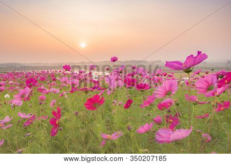 Pink Flowers Field Background.beautiful Cosmos Flowers Blooming In Garden With Morning Sunlight
