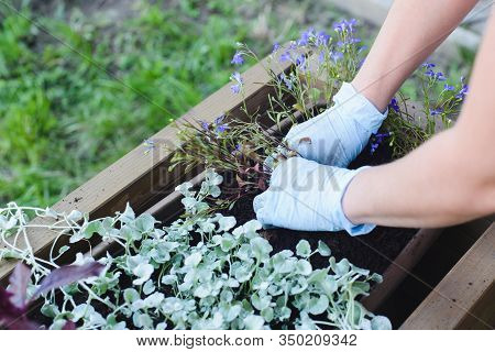 Hands Of Caucasian Woman Florist Planting Flowers In Wooden Container Pot Inside, Outdoors Plant Lan
