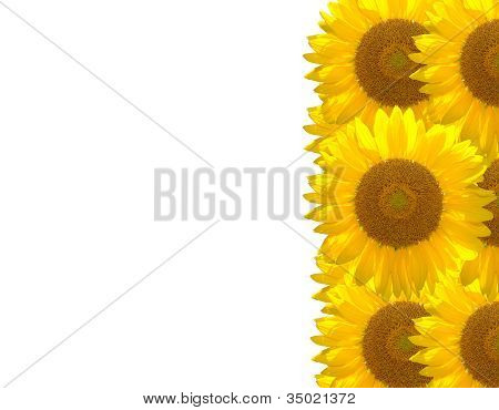 Beautiful Sunflower On The Background