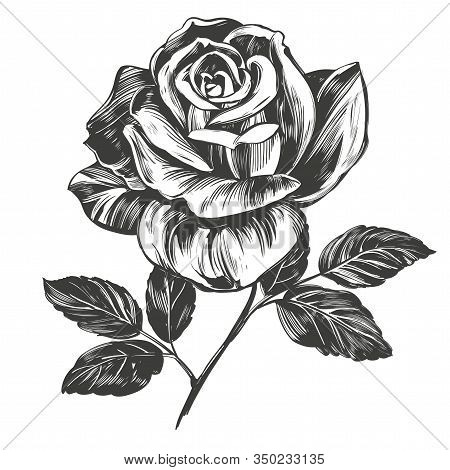 Flower Rose With Leaves, Hand Drawn Vector Illustration Realistic Sketch Isolated On White Backgroun