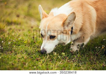 Corgi Smellig Something In The Grass, In The Parc