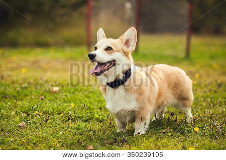 The Red Corgi Running In The Parc