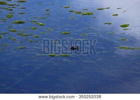 Water Bird In The Laguna Negra In The Bolivian Plateau. Landscape Of The Bolivian Highlands. Desert