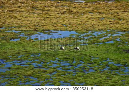 Water Birds In The Laguna Negra In The Bolivian Plateau. Landscape Of The Bolivian Highlands. Desert