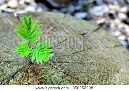 Young Green Plant Growing On Dead Tree Trunk, Green Plant On Old Stump. The Concept Of Ecology And S