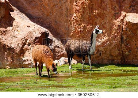 Llamas Grazing Grass In Laguna Negra In The Bolivian Plateau. Landscape Of The Bolivian Highlands. D