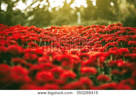 Beautiful Chrysanthemums In The Garden. Flowers As A Background Picture. Chrysanthemum Wallpaper. Ja