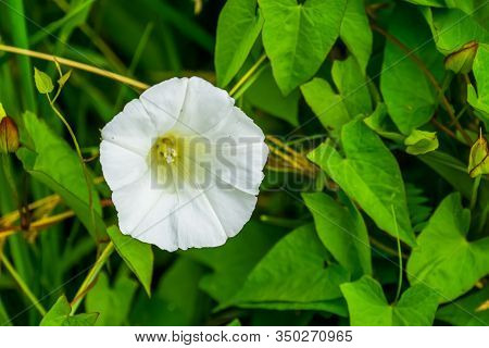 Close Up Of A Blooming White Flower Of A Hedge Bindweed, Cosmopolitan Plant Specie