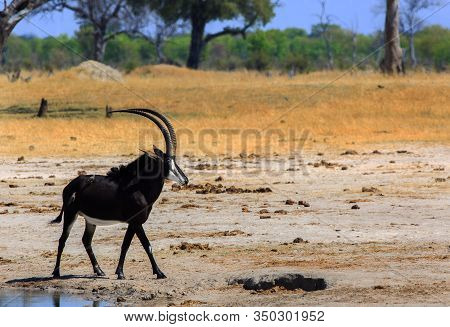 Beautiful Male Sable Antelope Walking Across The Dry Plains In Hwange National Park.  The Park Is Go