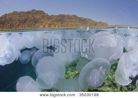Jellyfish: Half and half photo with jellyfish underwater and Sinai desert above poster