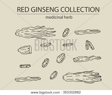 Red Or Panax Ginseng Dried Root And Slices For Package Design And Other Decoration. Hand Drawn Vecto