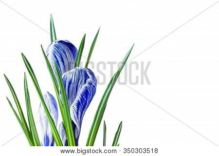 Large Crocus Crocus Sativus C. Vernus Flowers With Purple Streaks For Postcards, Greetings For Mothe