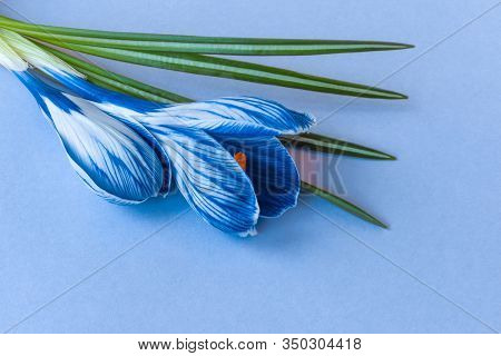Blue Crocus Flower On A Light Blue Background For The Design Of Holiday Cards, Mothers Day, Birthday
