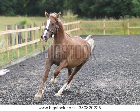 A Young Welsh Section D Colt Plays At Liberty In An Arena.