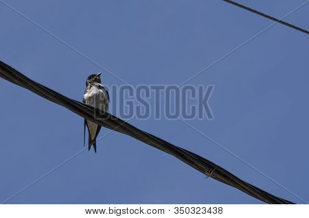 Swallow, Brown-chested Martin, Progne Tapera, Perched On A Electrical Wire, A Sunny Afternoon, On Ma