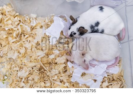 A Couple Of Tame Pets, Mice, Old White Albino And Young Spotted Mouse Living Together In A Cage, The