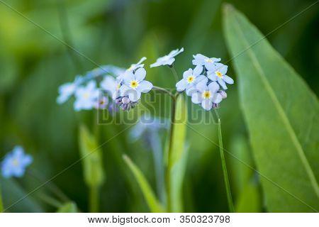 Water Forget-me-not Myosotis Scorpioides Myosotis Palustris. Myosotis Blue Flower Colloquially Denom