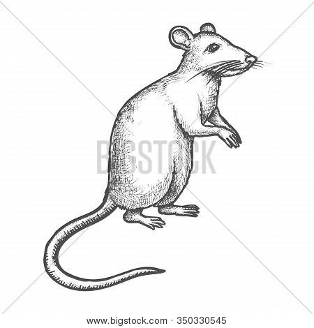 Mouse Or Rat Vector Sketch, Hand Drawn Illustration Of Rodent Animal. House Mouse Or Wild Rat Standi