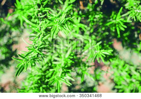 Fresh Rosemary Herb Grow Outdoor. Rosemary Leaves Close-up. Fresh Organic Flavoring Plants Growing.