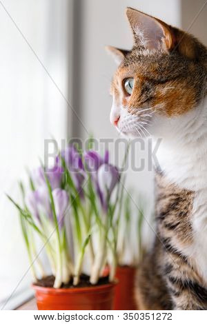 Domestic Tricolor Cat Looking Through The Window While Sitting On A Windowsill, Blurred Blooming Cro