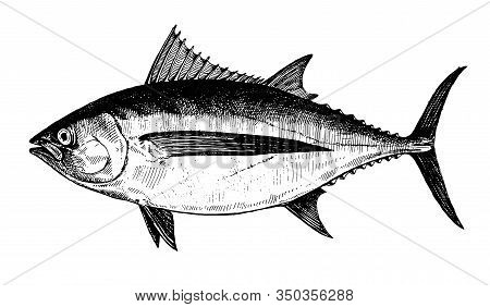 Albacore Tuna, Fish Collection. Healthy Lifestyle, Delicious Food. Hand-drawn Images, Black And Whit