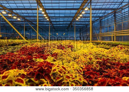 Colorful Coleus Plants Growing In Modern Greenhouse In The Evening At Artificial Light Conditions
