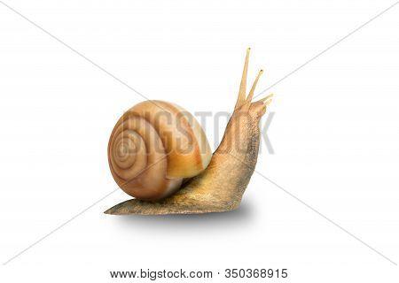 Garden Snail Isolated On White. Snail Achatina On A White Background. Big Snail Closeup. Animal Worl
