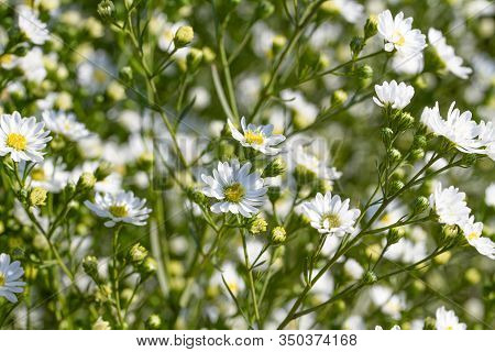 Daisies White Color Are Blooming Against Sunlight Beautiful