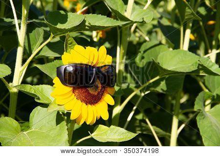 Closeup Sunflower Wearing Black Sunglasses On A Green Background