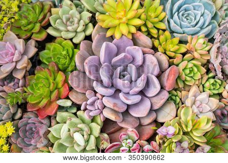 Miniature succulent plants (succulent cactus) at the garden