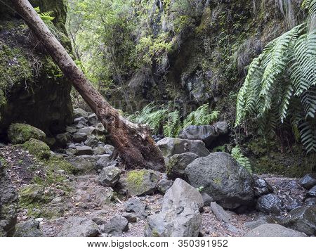 Path At Mysterious Laurel Forest Laurisilva, Lush Subtropical Rainforest At Hiking Trail Los Tilos,