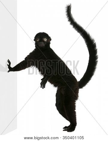 Male blue-eyed black lemur, Eulemur flavifrons, 3 years old, standing in front of white background