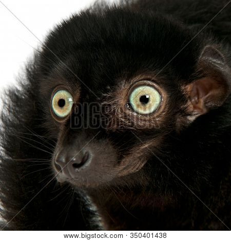 Male blue-eyed black lemur, Eulemur flavifrons, 3 years old, in front of white background