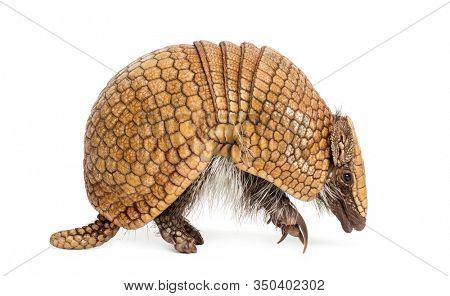 Brazilian three-banded armadillo, Tolypeutes tricinctus - 4 years old